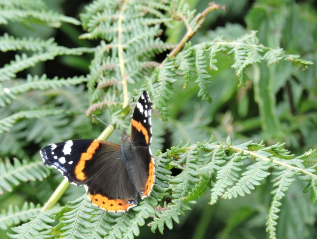 Red Admiral - jet black upper wings with bands of red and white spots and a single blue spot at the base of each hindwing.