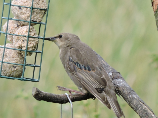Juvenile Starling at Loch Leven