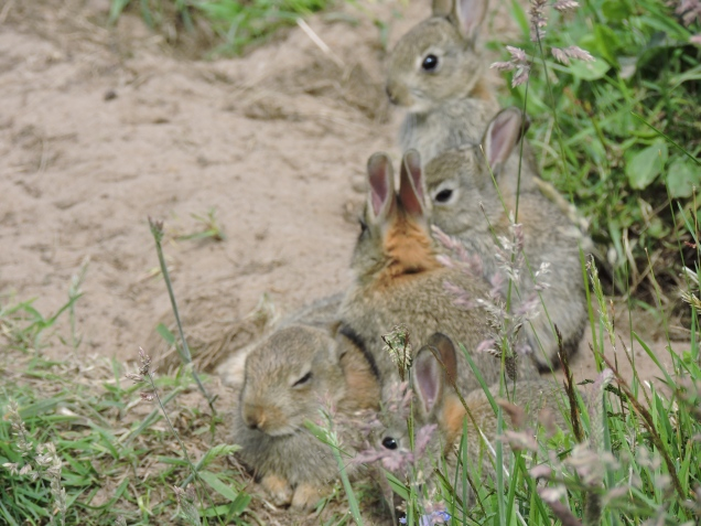 Family of rabbits outside the bird hide at Loch Leven