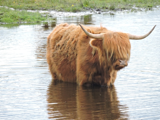 Highland Cow taking a dip at Loch Leven