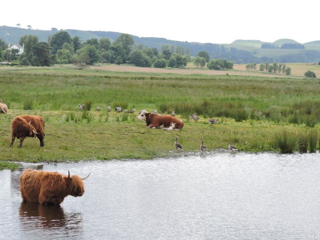 Highland Cow disturbs geese at Loch Leven