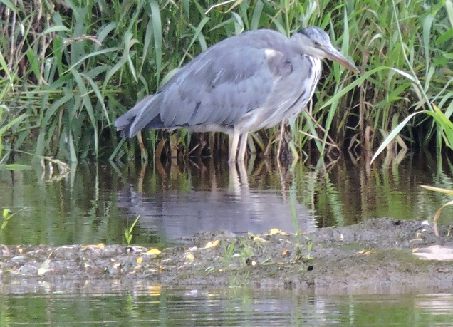 Heron on the Teviot