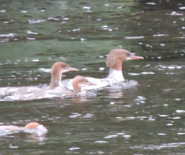 Goosander on the Teviot