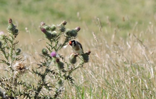 Goldfinch extracting a thistle seed.