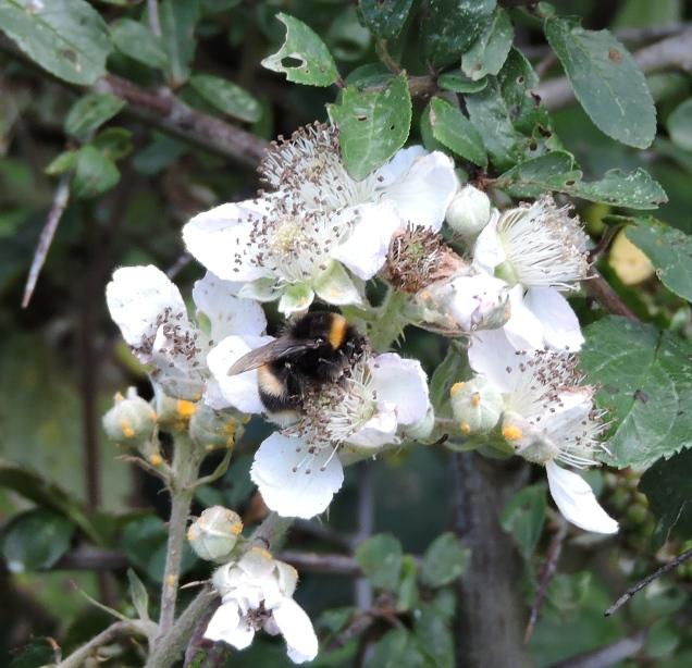 Bee enjoying the blackberry flower