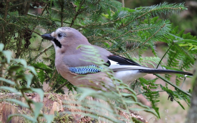 Jay - very shy birds these so I'm pleased to get a picture of this one!