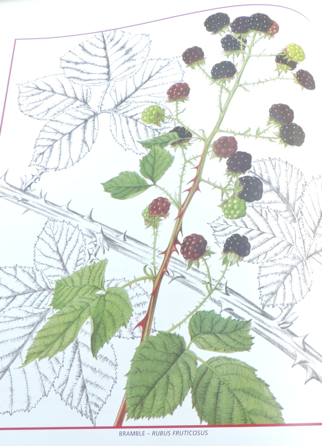 Bramble - Rubus Fruticosus - a painting by Christabel King in Edible Wild Plants and Herbs.