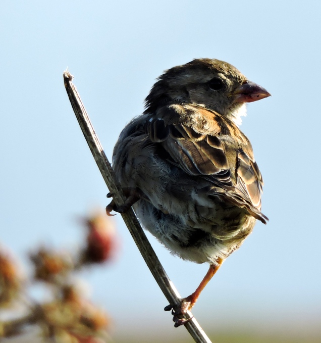 We debated whether they might be Tree Sparrows - but no, I don't think so - just House Sparrows