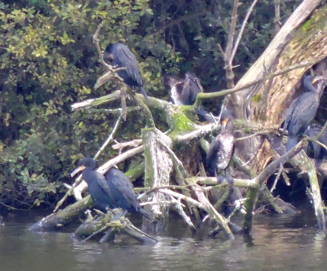 A Swim of Cormorants