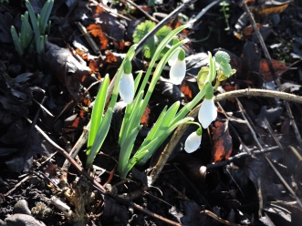Snowdrops at Banff Mill