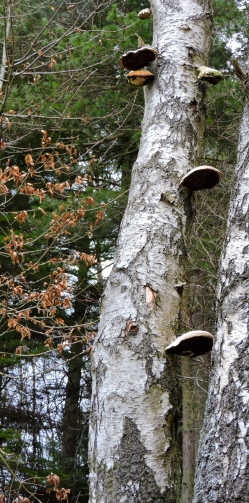 I think this is probably Birch Polypore, a parasitic fungus which enters wounds on Birch trees and causes their death.