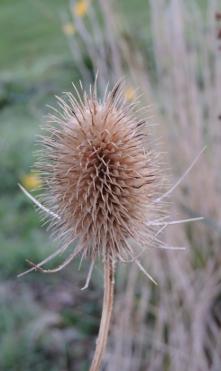 Wild Teasel - loved by Goldfinches of which we have a Charm