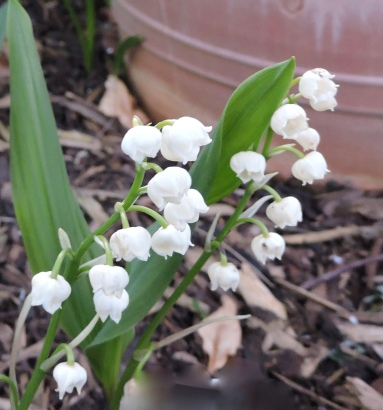 Lily of the Valley - named from the Song of Solomon 'I am a flower of the field and a lily of the valley'